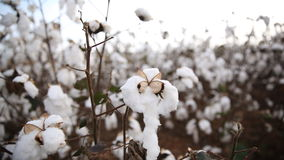 Cotton. At sunset in a  field Royalty Free Stock Image
