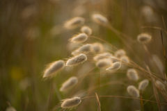 Cotton tail grass Royalty Free Stock Photos