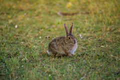 Cotton tail rabbit Royalty Free Stock Images