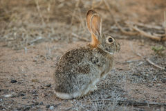 Cotton tail rabbit Royalty Free Stock Photography