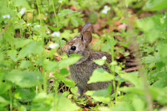 Cotton-tail Rabbit Stock Image