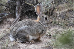 Cotton tail rabbit in sage brush. This is a cotton tail rabbit in the sage brush stock photos