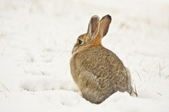 Cotton tail rabbit Stock Photos