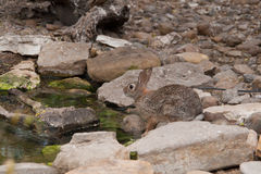 Cotton tail rabbit Stock Image