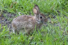 Cotton Tail Royalty Free Stock Image