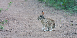 Cotton tail Stock Images