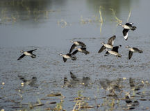 Cotton Teals Royalty Free Stock Photography
