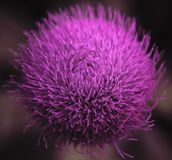 Cotton Thistle. A close-up of a lively pink cotton thistle lat. Onopordum acanthium blooming on a hot summer afternoon stock photo