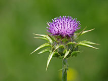 Cotton Thistle Flower Stock Images