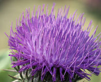 Cotton Thistle Royalty Free Stock Photos