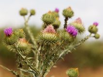 Cotton thistle, Onopordum acanthium. Cotton thistle or Scotch thistle, Onopordum acanthium, is a flowering plant in the family Asteraceae royalty free stock image