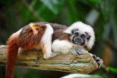 Cotton top monkey Royalty Free Stock Photo