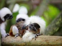 Cotton top monkey Royalty Free Stock Image