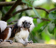 Cotton top monkey Royalty Free Stock Image