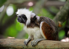 Cotton top monkey Royalty Free Stock Photos