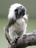 Cotton-top Tamarin 1 Royalty Free Stock Photos