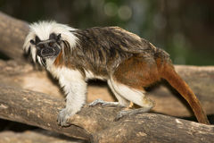 Cotton top Tamarin Royalty Free Stock Photography