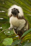 Cotton top Tamarin Royalty Free Stock Images