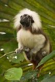 Cotton top Tamarin. Wild Cotton top Tamarin, Saguinus oedipus Royalty Free Stock Images