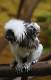 Cotton-top Tamarin Royalty Free Stock Photos
