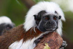Cotton-top Tamarin Stock Photo