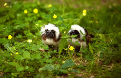 Cotton-top tamarin. This tamarin has a long sagittal crest, white hairs from forehead to nape flowing over the shoulders The rump and inner thighs are reddish Royalty Free Stock Photos