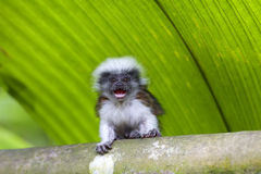 Cotton-top tamarin Royalty Free Stock Photography