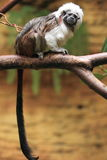 Cotton-top tamarin Stock Image