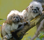Cotton-top tamarin 3 Stock Photos