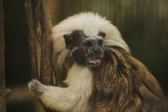 Cotton-top Tamarin. (Saguinus oedipus) one of the most endangered primates in the world, approx. 2500 exist, only found in Columbia Royalty Free Stock Photos