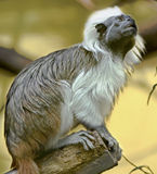 Cotton-top Tamarin 4 Royalty Free Stock Images