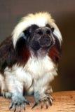 Cotton-Top Tamarin. Cute Cotton Top Tamarin Primate Monkey Royalty Free Stock Photography
