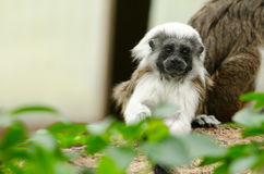 Cotton-Top Tamarin baby Royalty Free Stock Images