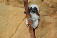 Cotton-top tamarin Stock Photography