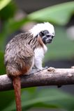Cotton Top Tamarin Royalty Free Stock Photos
