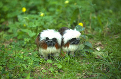 Cotton-top tamarin couple. One of the bare-faced tamarins because of the lack of facial hai. It is about the size of a squirrel and weighs 10-18 ounces. Males Stock Photo