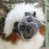 Cotton-top tamarin. Cute face of cotton-top tamarin Royalty Free Stock Image