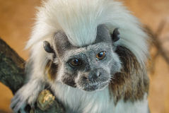Cotton-top tamarin face detail view Royalty Free Stock Photo