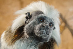 Cotton-top tamarin face detail view Royalty Free Stock Photos