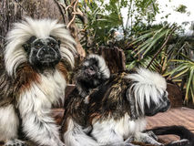 Cotton-Top Tamarin. Family in Wellington Zoo Royalty Free Stock Image