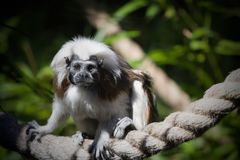 A cotton top tamarin royalty free stock image