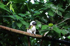 Cotton-Top Tamarin 1. Cotton-Top Tamarin having a mouthful of food resting on a tree Royalty Free Stock Photos