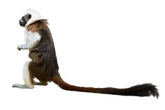 Cotton-top tamarin. Isolated over white Stock Image
