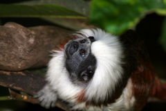 Cotton top tamarin lookin up Royalty Free Stock Photos