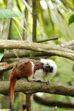 Cotton top tamarin monkey Stock Image