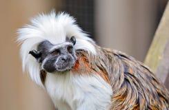 Cotton-top Tamarin monkey Stock Images