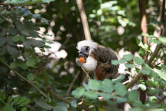 Cotton-top Tamarin Monkey Stock Photo