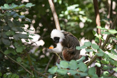 Cotton-top Tamarin Monkey Royalty Free Stock Photo