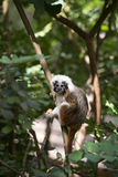 Cotton-top Tamarin Monkey Royalty Free Stock Image