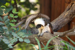 Cotton-top Tamarin Monkey Stock Photography